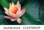 beautiful pink lotus flower in...   Shutterstock . vector #1123700429