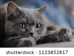 gray cat  british breed  sad... | Shutterstock . vector #1123852817