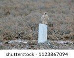 common kestrel  falco...   Shutterstock . vector #1123867094