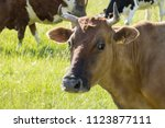 colorful cows eating grass on... | Shutterstock . vector #1123877111