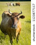 colorful cows eating grass on... | Shutterstock . vector #1123877117