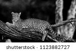 young female leopard at dawn ... | Shutterstock . vector #1123882727