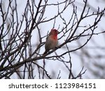 a male house finch shows off...   Shutterstock . vector #1123984151