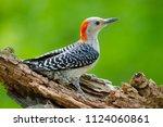 Red Bellied Woodpecker In ...