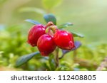 Cowberry. Three cowberries on a green vegetative background in the forest - stock photo