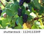 ripe and ripening summer...   Shutterstock . vector #1124113349