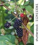 ripe and ripening summer...   Shutterstock . vector #1124113361