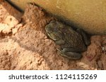 the common toad asia toad in... | Shutterstock . vector #1124115269