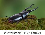 the giraffe stag beetle ... | Shutterstock . vector #1124158691