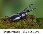 the giraffe stag beetle ... | Shutterstock . vector #1124158691