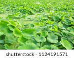 lotus leaves in the pond.... | Shutterstock . vector #1124191571