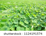 lotus leaves in the pond.... | Shutterstock . vector #1124191574