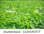 lotus leaves in the pond.... | Shutterstock . vector #1124191577