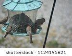 female cardinal on a bird...   Shutterstock . vector #1124195621