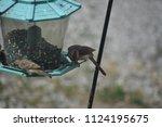 female cardinal on a bird...   Shutterstock . vector #1124195675
