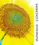 close up of the sunflower in... | Shutterstock . vector #1124239094