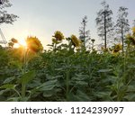 close up of the sunflower in... | Shutterstock . vector #1124239097