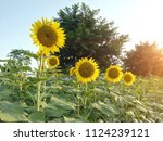 close up of the sunflower in... | Shutterstock . vector #1124239121