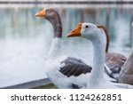 the geese are staring happily... | Shutterstock . vector #1124262851