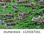 lavender flower field   Shutterstock . vector #1124267261