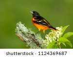 Baltimore oriole in minnesota.