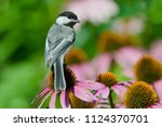 Black Capped Chickadee In...