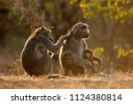backlit family of chacma... | Shutterstock . vector #1124380814