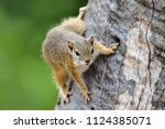 tree squirrel in a tree | Shutterstock . vector #1124385071