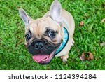 Stock photo happy funny mischievous expressive faces of french bulldog frenchie at a park 1124394284