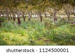 cork oak forest   quercus suber ... | Shutterstock . vector #1124500001