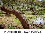 cork oak forest   quercus suber ... | Shutterstock . vector #1124500025