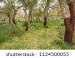cork oak forest   quercus suber ... | Shutterstock . vector #1124500055