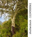 cork oak forest   quercus suber ... | Shutterstock . vector #1124500061
