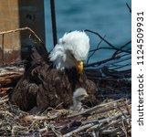 a bald eagle mom stares... | Shutterstock . vector #1124509931