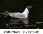 black headed gull. breeding... | Shutterstock . vector #1124546684