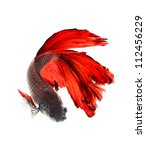 betta fish, siamese fighting fish isolated on white background - stock photo