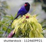 taiwan blue magpie  urocissa... | Shutterstock . vector #1124609921