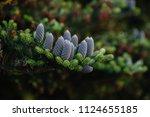 cones of coniferous trees close ... | Shutterstock . vector #1124655185