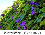stunning creeper ipomoea... | Shutterstock . vector #1124748221