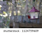 red male northern cardinal... | Shutterstock . vector #1124759609