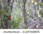 red male northern cardinal... | Shutterstock . vector #1124760845
