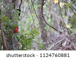 red male northern cardinal... | Shutterstock . vector #1124760881