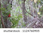 red male northern cardinal... | Shutterstock . vector #1124760905