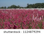field of colourful delphinium... | Shutterstock . vector #1124879294