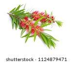 Melaleuca  Tea Tree  Twig With...