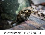 toad is on a rock. | Shutterstock . vector #1124970731