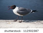 A Laughing Gull Calling Out