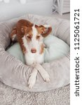 sleeping podenco ibicenco | Shutterstock . vector #1125061721