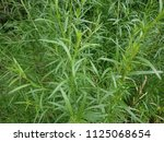 tarragon  artemisia dracunculus ...   Shutterstock . vector #1125068654