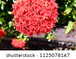 spike flower blooming  red... | Shutterstock . vector #1125078167